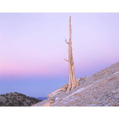 Bristlecone Pine Tree, California